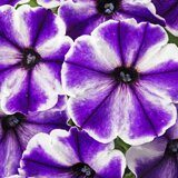 Crazytunia Blue Ice