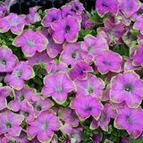 Crazytunia Kermit Purple