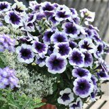 Potunia Plus Purple Halo