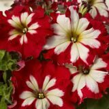 Petunia_Can_Can_Harlequin_Cherry_Rose