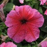 Daddy® Red Petunia