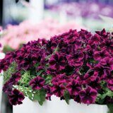 Crazytunia Cosmic Purple