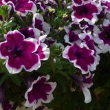 Crazytunia Purple Picotee