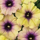 Crazytunia Twilight Lime