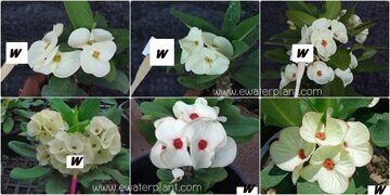 Euphorbia-milii-assorted-White