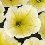 Crazytunia Lemon Burst