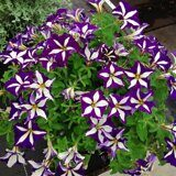 Crazytunia Starlight Blue