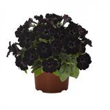 Sweetunia Black Satin