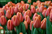 Tulipa 14 Time Out