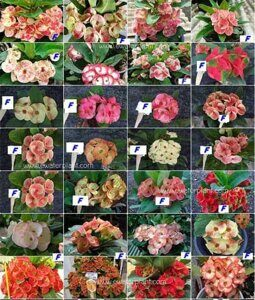 Euphorbia-milii-assorted-Fancy