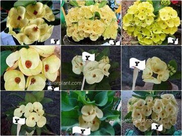 Euphorbia-milii-assorted-Yellow