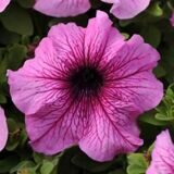 Daddy® Orchid Petunia