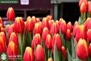 Tulipa 4 Hennie vander Most