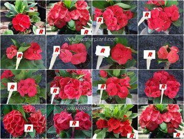 Euphorbia-milii-assorted-Red
